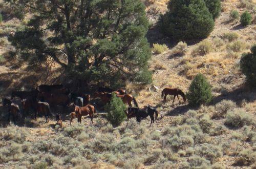 nevada-wild-horses